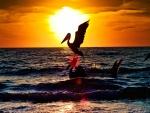 Pelícanos en el mar al atardecer