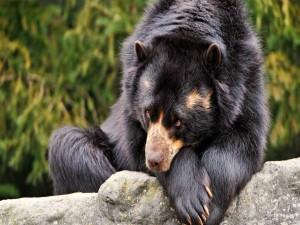 Un oso negro tumbado sobre una roca