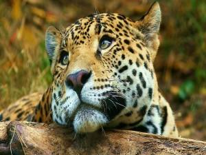 La cara de un bonito leopardo