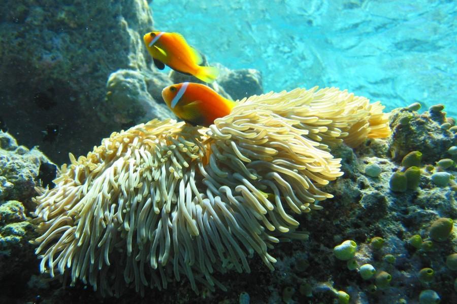 Bonitos peces junto a una anémona