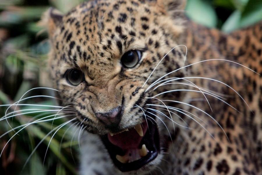 Joven leopardo muy enfadado