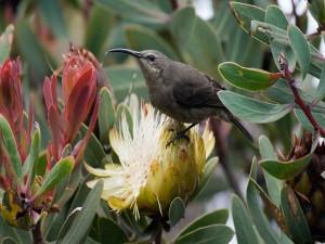 Suimanga malaquita (Nectarinia famosa) sobre una flor