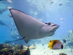 Pez raya nadando con otros peces en un acuario