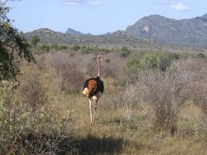 Un avestruz en el Parque Nacional de Tsavo (Kenia)