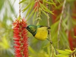 Colibrí bebiendo néctar