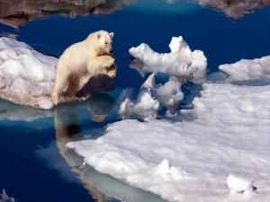 Oso polar saltando en el hielo
