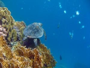 Tortuga marina nadando junto a un arrecife