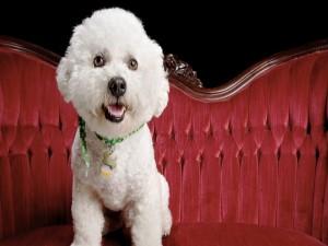 Bello perrito blanco sobre un sofá