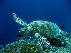 Gran tortuga en el océano