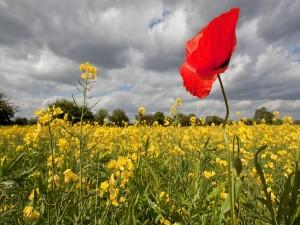 Amapola roja en un campo de colza
