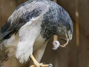 Águila construyendo su nido