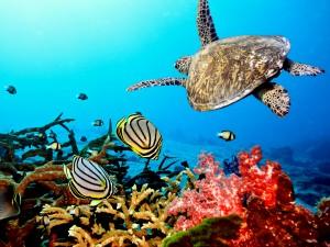 Tortuga nadando junto a unos peces
