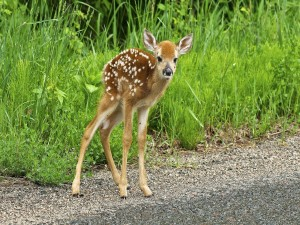 Bebé ciervo junto a las hierbas