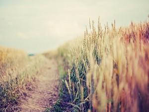 Camino junto al campo de trigo