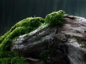 Musgo sobre el tronco de un árbol