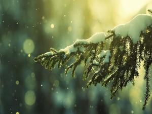 Nieve sobre la rama de un pino