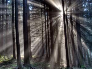 Sol entre los árboles del bosque