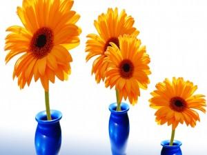 Gerberas de color naranja en unos violeteros azules