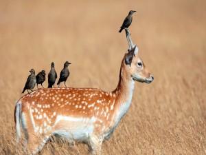 Pájaros posados sobre un ciervo