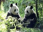 Dos pandas sentados comiendo bambú