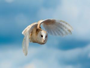 Lechuza común en vuelo