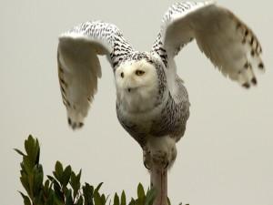 Búho nival batiendo sus alas