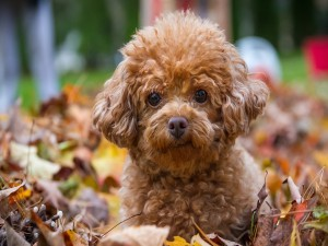 Encantador perrito marrón sentado sobre hojas otoñales