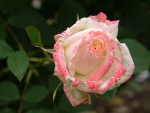 Delicada rosa en el rosal