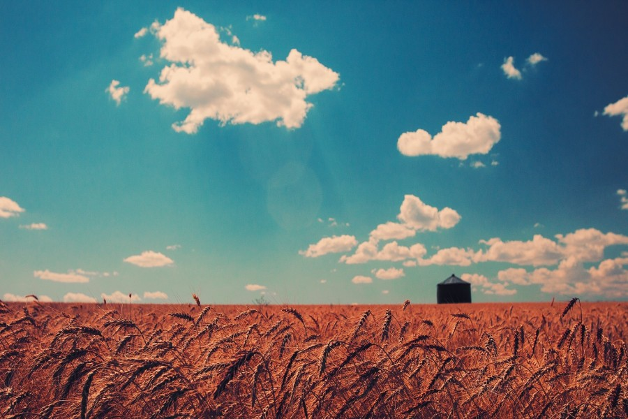 Cielo azul sobre un campo de trigo