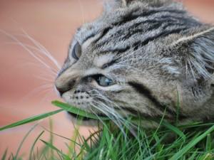 Gato gris masticando una brizna de hierba