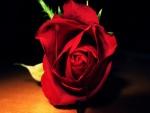 Rosa roja en el suelo