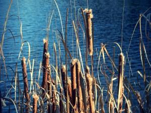 Juncos cerca del agua