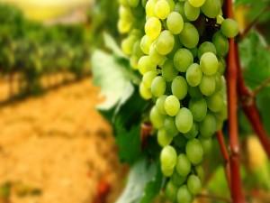 Uvas en la parra