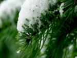 Nieve sobre el pino verde