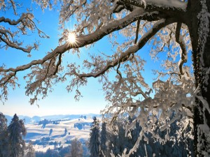Sol entre las ramas de un árbol cubierto de nieve