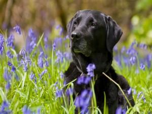 Labrador retriever tumbado entre flores violetas
