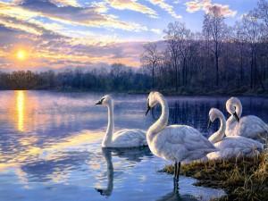 Cisnes blancos nadando en un lago al atardecer