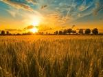 Sol brillando sobre un campo de trigo