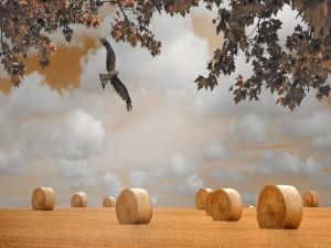 Águila volando sobre un campo