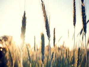 Sol iluminando las espigas de trigo
