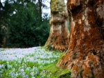 Crocus junto a grandes árboles