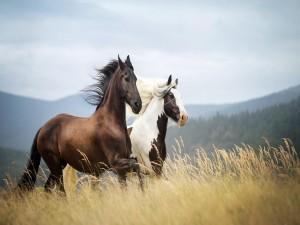 Dos caballos al galope por el campo