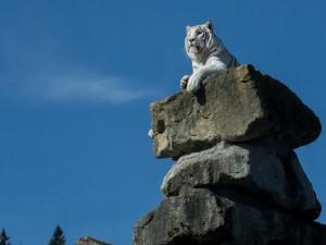 Tigre blanco sobre una roca