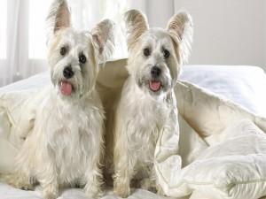 Dos perritos blancos sobre una cama