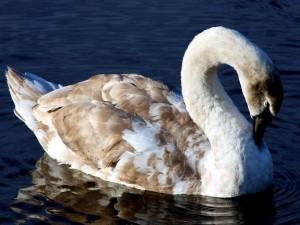Cisne con plumas marrones
