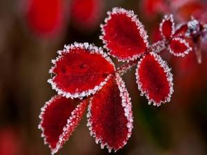 Hojas rojas escarchadas