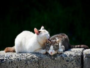 Gato blanco lamiendo a otro gato