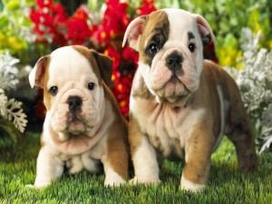 Dos cachorros de bulldog en el jardín