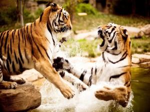 Tigres peleando en el agua