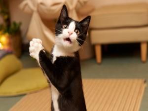 Gato negro y blanco sorprendido